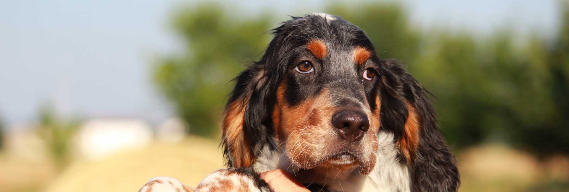 cuccioli-cani-da-caccia-in-vendita
