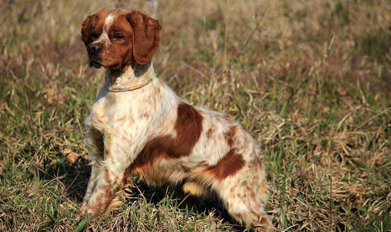 Razze cani da caccia: Epagneul Breton