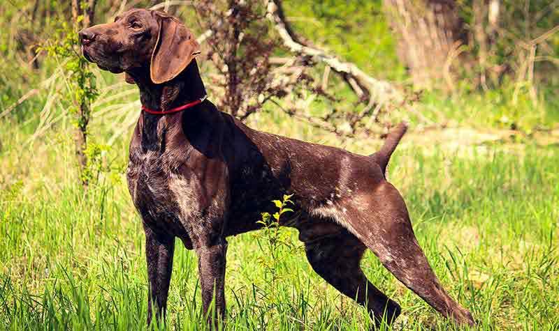 Razze cani da caccia: Kurzhaar