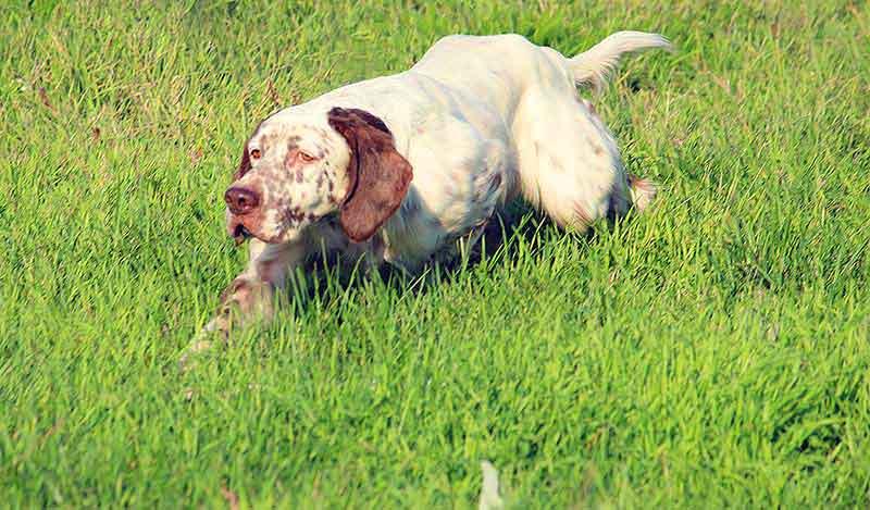 Razze cani da caccia: Setter inglese
